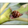 Коровка крапчатая (Calvia quatuordecimguttata)