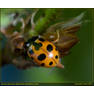 Коровка приметная (Hippodamia (Semiadalia) notata)