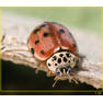 Коровка четырёхточечная Harmonia quadripunctata) - но точек у неё больше!