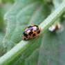 Коровки-а четырнадцатиточечная Propylea quatuordecimpunctata