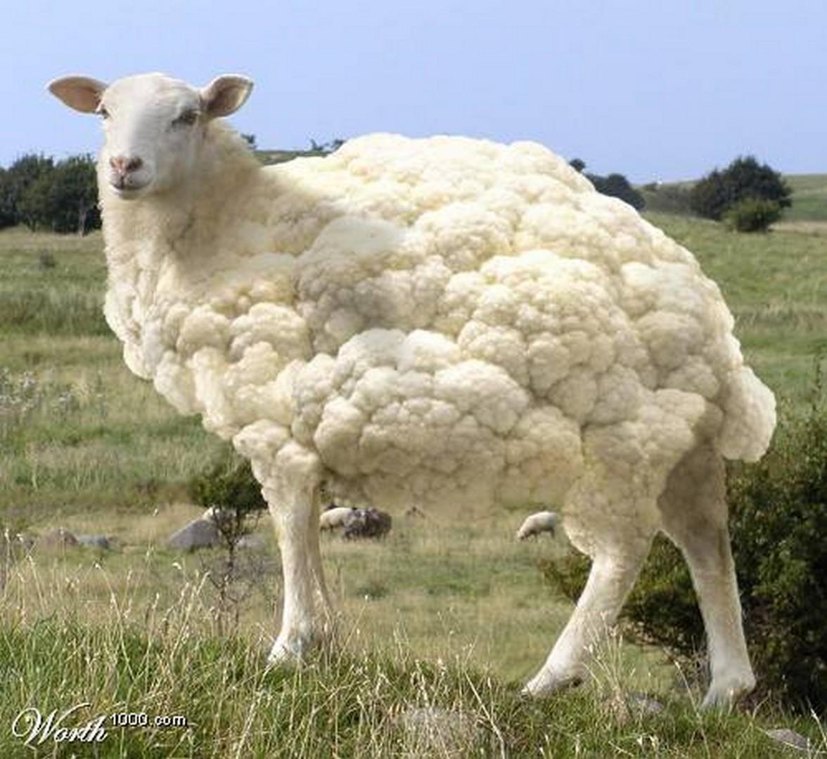 Что будет если я трахнул овечку 15 фотография