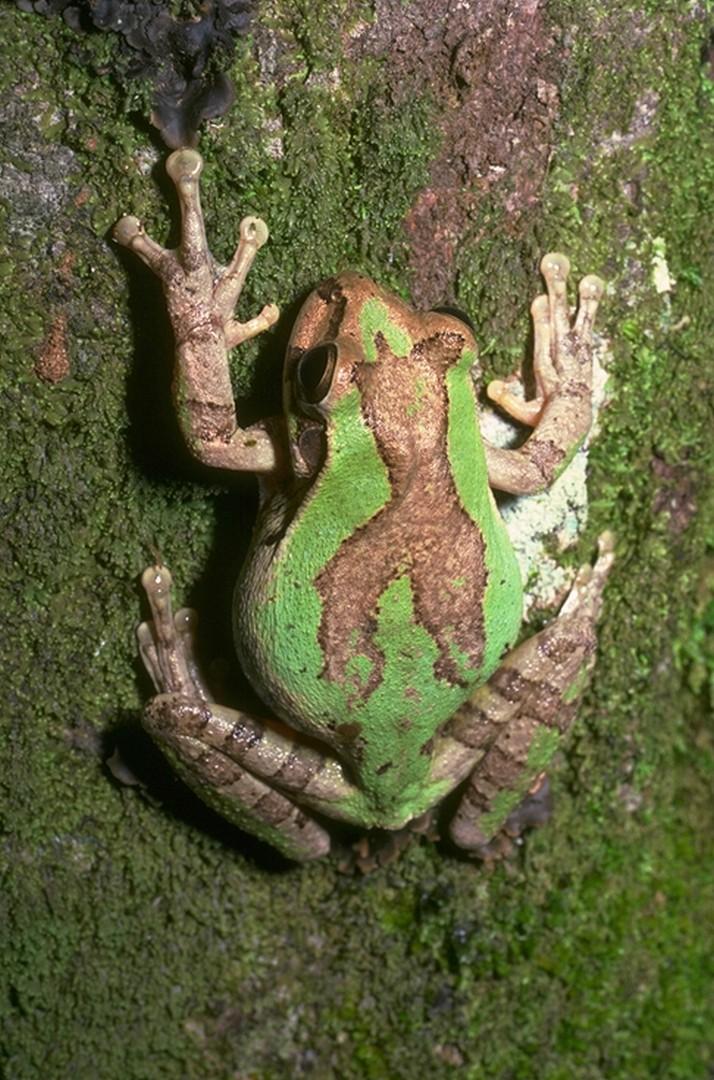 История создания камуфляжа древесной лягушки