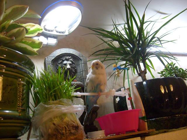 Волнистый попугай Лола