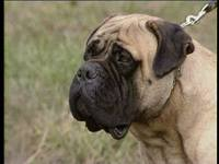 Энциклопедия собак. Бойцовские собаки / Dogs Encyclopedia. Fighter dogs (2007) DVDRip