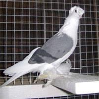 Масти узбекских голубей. Фото с названием 148904_m