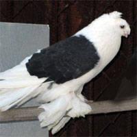 Масти узбекских голубей. Фото с названием 148915_m