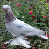 Масти узбекских голубей. Фото с названием 149479_m