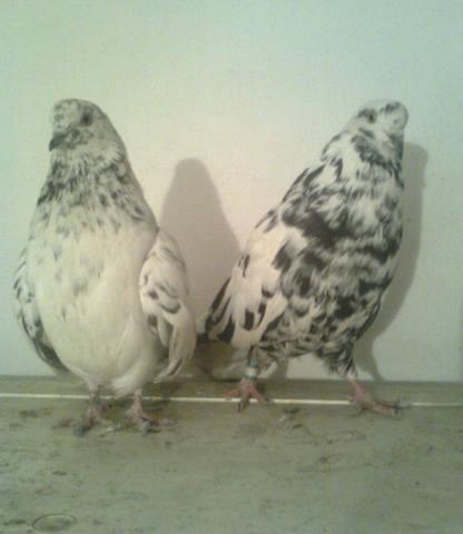 Высоколётные голуби Казахстана - Страница 2 264723_m