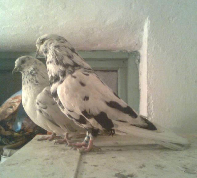 Высоколётные голуби Казахстана - Страница 2 264725_m