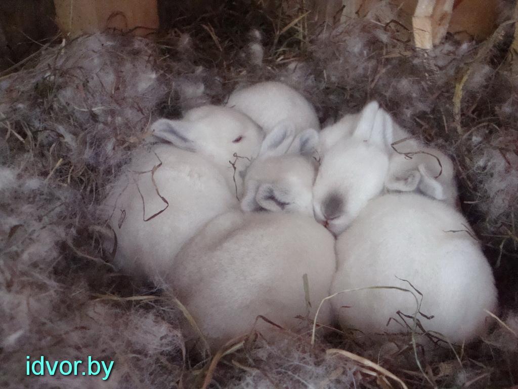 Калифорнийцы кролики