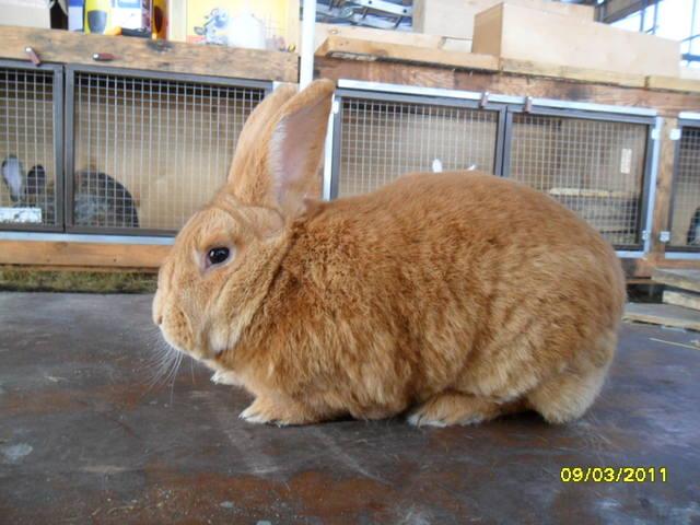 Кролики породы Бургундский - Страница 2 379279_m