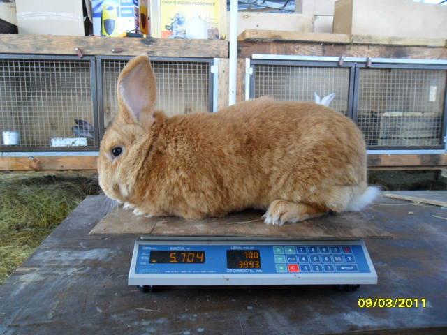 Кролики породы Бургундский - Страница 2 379280_m