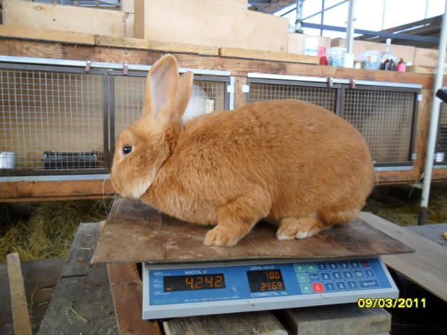 Кролики породы Бургундский - Страница 2 379281_m
