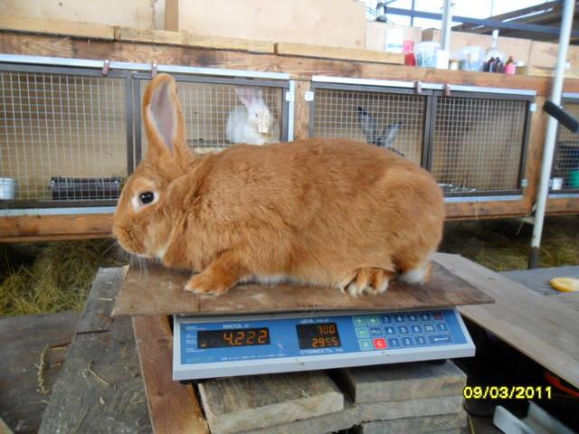 Кролики породы Бургундский - Страница 2 379282_m