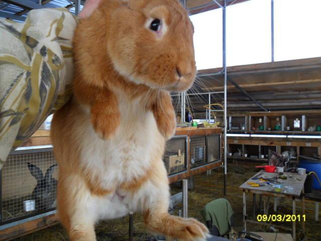 Кролики породы Бургундский - Страница 2 379284_m