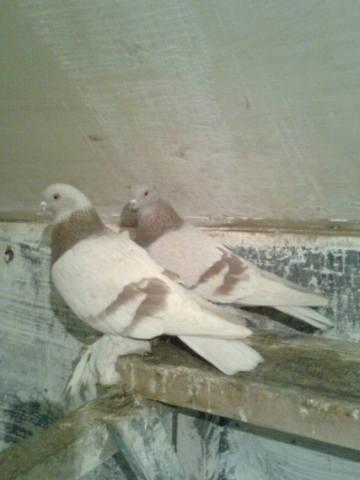 Масти скобастых голубей. Поясная группа. 385778_m