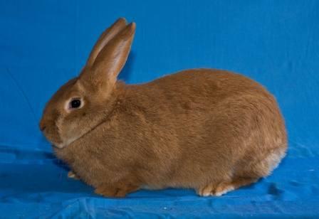 Кролики породы Бургундский - Страница 2 402957_m