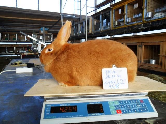 Кролики породы Бургундский - Страница 2 407076_m