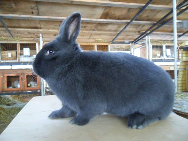 Венский голубой кролик 407488_m