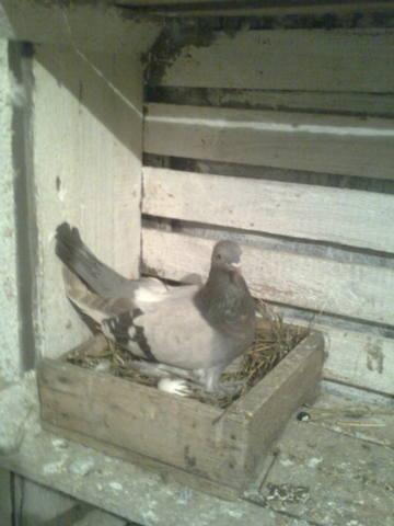 Масти скобастых голубей. Поясная группа. 425001_m