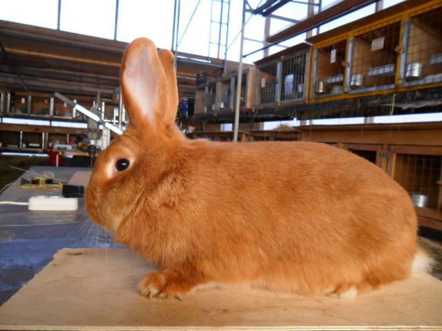 Кролики породы Бургундский - Страница 3 445591_m