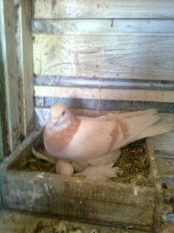 Масти скобастых голубей. Поясная группа. 456271_m
