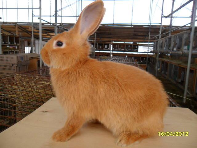 Кролики породы Бургундский - Страница 3 472760_m