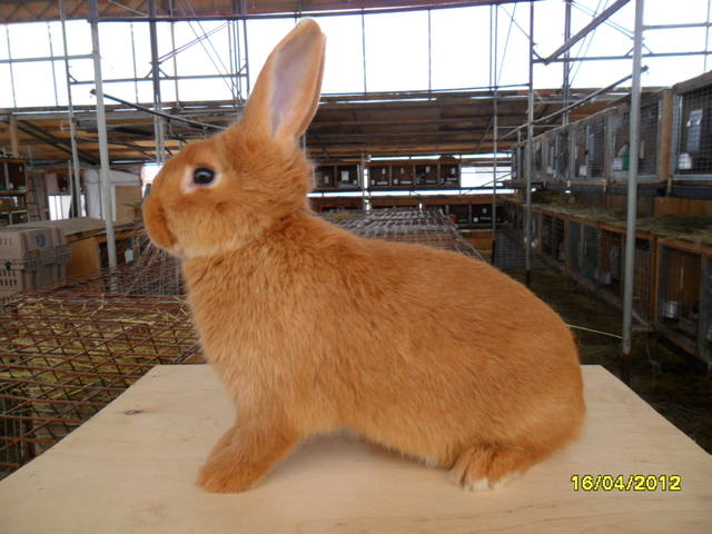 Кролики породы Бургундский - Страница 3 472761_m