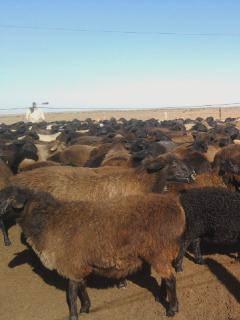 Эдильбаевские овцы 477203_m