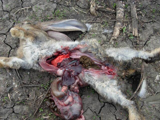 Вздутие живота у кроликов. - Страница 3 483552_m