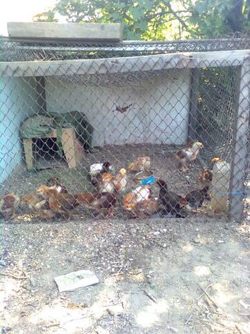 Самодельные инкубаторы и инвентарь для цыплят - Страница 2 549788_m