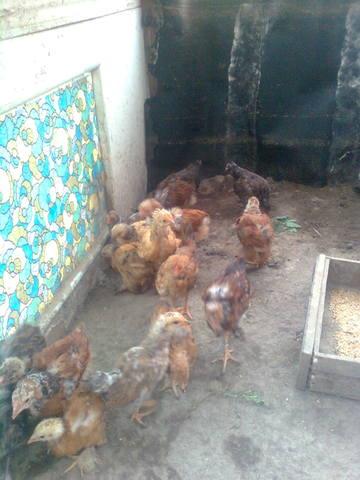 Самодельные инкубаторы и инвентарь для цыплят - Страница 2 621255_m
