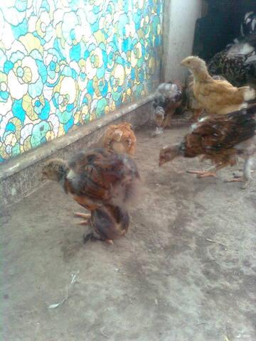 Самодельные инкубаторы и инвентарь для цыплят - Страница 2 621256_m