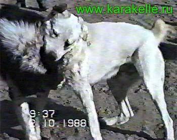 Знаменитые собаки прошлого  622408_m