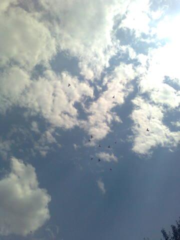Лёт и игра бойных голубей. Дискуссия 723818_m
