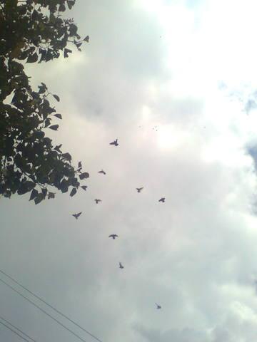 Лёт и игра бойных голубей. Дискуссия 723819_m