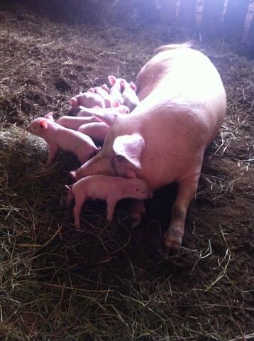 свинья не до конца опоросилась приема таблеток внутрь
