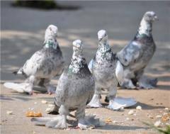 Масти узбекских голубей. Фото с названием 866486_m