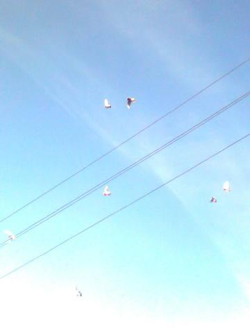 Лёт и игра бойных голубей. Дискуссия 998539_m