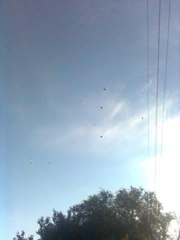 Лёт и игра бойных голубей. Дискуссия 998540_m