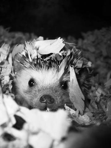hedgehog by purp0l