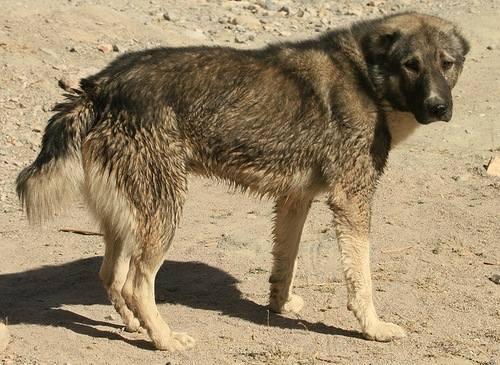 Аборигенные собаки СА и KZ 1098194_m