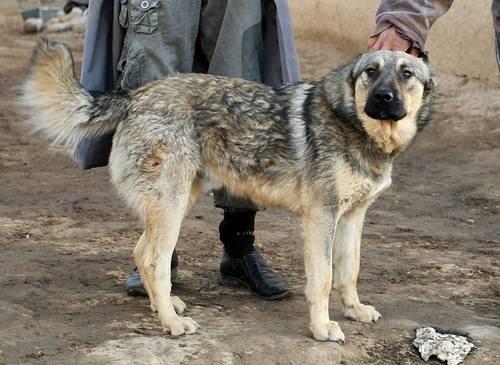 Аборигенные собаки СА и KZ 1098222_m
