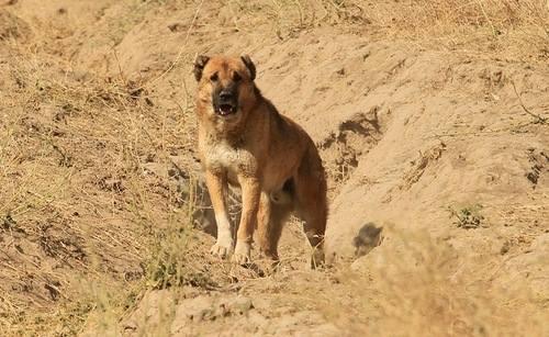 Аборигенные собаки СА и KZ 1098225_m