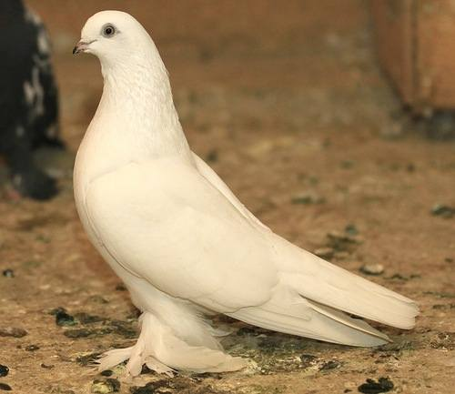 Бойные голуби Таджикистана - Страница 3 1121679_m