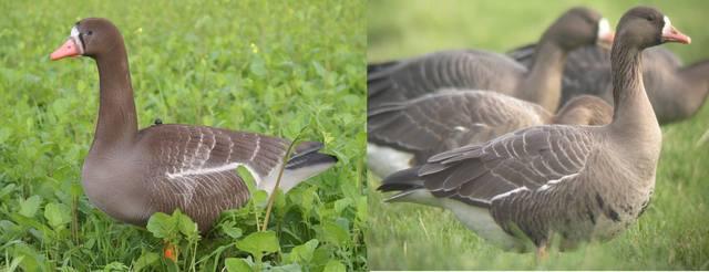 приманка для дикого гуся