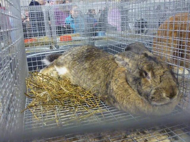 III Уральская выставка породных птиц и кроликов. г. Екатеринбург 01-02 декабря 2012 года 1321508_m