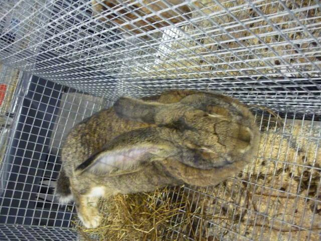 III Уральская выставка породных птиц и кроликов. г. Екатеринбург 01-02 декабря 2012 года 1321509_m