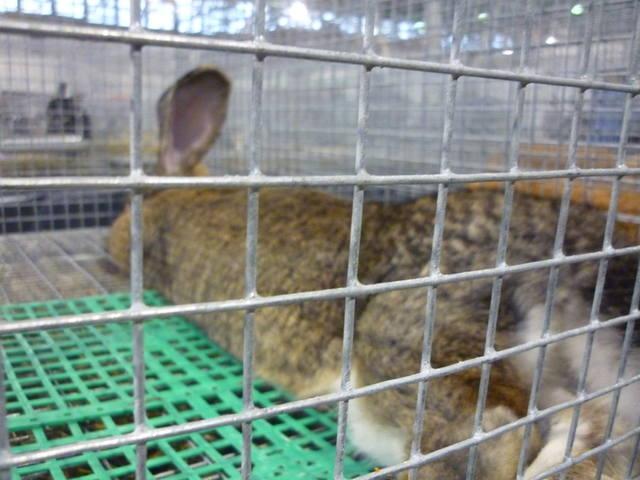 III Уральская выставка породных птиц и кроликов. г. Екатеринбург 01-02 декабря 2012 года 1321524_m