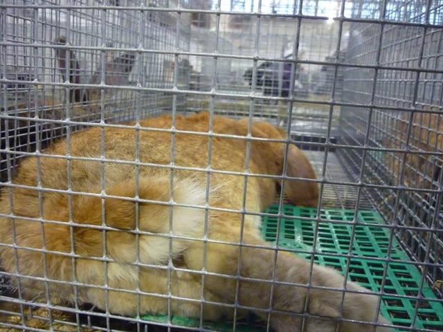 III Уральская выставка породных птиц и кроликов. г. Екатеринбург 01-02 декабря 2012 года - Страница 2 1321688_m